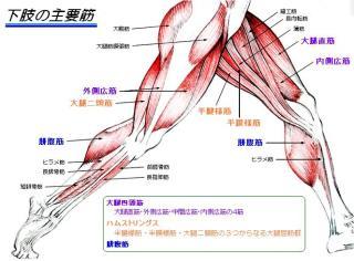 大 腿 部 筋肉